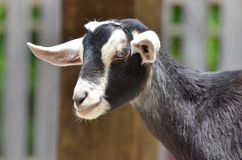 Black and white goat 3 Stock Photography