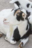 Black and White Goat Stock Photography