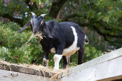 Black and White Goat Eating Stock Photography