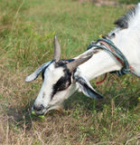 Black and white goat eating grass Royalty Free Stock Photography