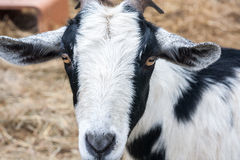 Black and White Goat Facing Camera Stock Images