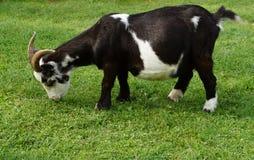 Black white goat. On the farm Royalty Free Stock Image