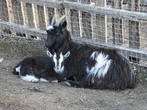 Black and white goat with the kid resting. On the ground Stock Images