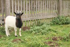 Black white goat looks into the camera. Behind fance royalty free stock photography