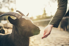 Black and White Goat Beside Person in Black Long Sleeve Shirt Stock Image