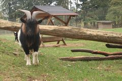 Black white goat running into the camera. Black white goat tunning into the camera on green field royalty free stock photography