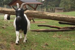 Black white goat running into the camera. Black white goat tunning into the camera on green field royalty free stock images