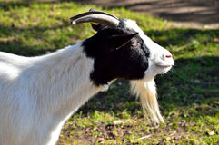 Black and white goat Stock Images