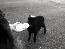 Black and white goat royalty free stock photo