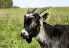 Black and white goat Royalty Free Stock Photography