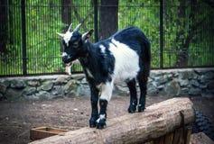 Black and white goat stock photos