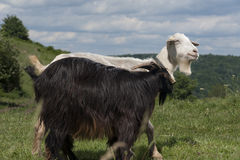 Black and white goats Royalty Free Stock Photos