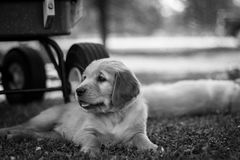 Black and white golden retriever. Puppy looking left Stock Image