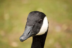 Black and White Goose. In London Park royalty free stock image