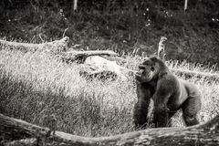 Black and white gorilla Royalty Free Stock Photo