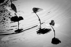 Black and white. With grain of morning glory in water and reflection Royalty Free Stock Image