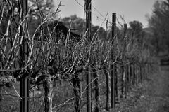 Black and white Grapevine. Sonoma county vineyard perspective photo after the harvest, down one row of a vineyard Stock Images