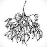 Black and white graphic drawing of mistletoe Royalty Free Stock Image