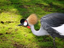 Black White and Gray Bird on Green Grass Royalty Free Stock Photography