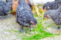 Black and white or gray chicks pecking grass royalty free stock photo