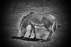Black and white grazing zebra Stock Photo