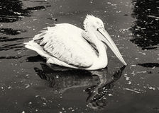 Black and white Great white pelican - Pelecanus onocrotalus - is Royalty Free Stock Image