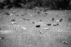 Black and white Green grass lawn with dry leaves, grass field in the garden. With cluttered dried leaves. image for background,wallpaper and copy space Royalty Free Stock Photo