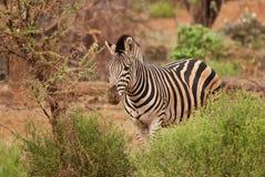 Zebra in green. Wild Zebra between the green bushes Stock Photos