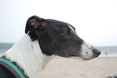 Black and White Greyhound at the beach 2 Stock Images
