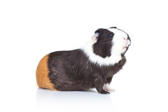 Black and white guinea pig Stock Photography