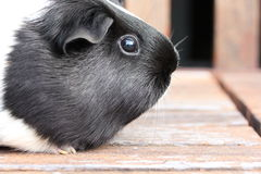 Black and White Guineapig Stock Image
