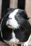 Black and White Guineapig Stock Photos