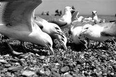 Black and white Gull. Water and stones, beautiful sunny weather spent time by the sea or ocean. Trip with children, family or friends, sun, beach, sand, rocky Royalty Free Stock Images