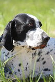 Black and white gun dog lying on the ground. In summer royalty free stock photo