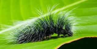 Black and White Hairy Caterpillar on Top of Green Leaf royalty free stock photography