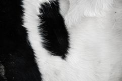 Bull& x27;s skin pattern and texture stock image