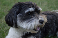 Black and White Havanese Dog Watching. Close up of small black and white Havanese dog enjoying outdoors and watching something in the distance Royalty Free Stock Image
