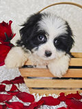 Black and White Havanese Puppy Royalty Free Stock Photography