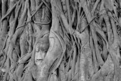 Black and White head of Buddha image in tree roots at Wat Mahath stock images