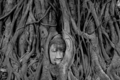 Black and White head of Buddha image in tree roots at Wat Mahath royalty free stock photo