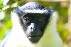 Black and white head of an endangered roloway monkey in frontal view in the bright sunlicht. Black and white head of an endangered roloway monkey cercopithecus royalty free stock photography