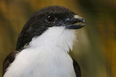 Head of a long-tailed fiscal (lanius cabanisi) in profile view. Black and white head of a long-tailed fiscal (lanius cabanisi) with the beak Royalty Free Stock Photography