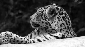 Head shot of captive leopard. Black and white head shot of a captive leopard resting on a branch stock photo