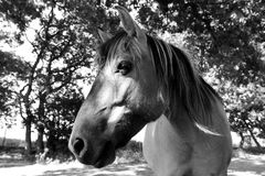 Black and white head shot image of a feral Konik pony Royalty Free Stock Photo