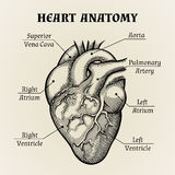 Black and White Heart Anatomy Graphic Royalty Free Stock Image