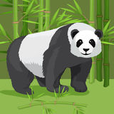 Black and white heavy panda stands on paws, bamboo background. Stock Image