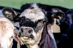 Black and white heifer face Stock Photos