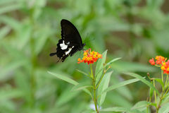 Black and White Helen butterfly (Papilio nephelus) Royalty Free Stock Images