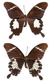 Black and White Helen Butterfly. [Papilio nephelus chaon] upper and lower stock photo