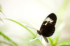 Black & white Heliconius butterfly on green leaf Royalty Free Stock Images